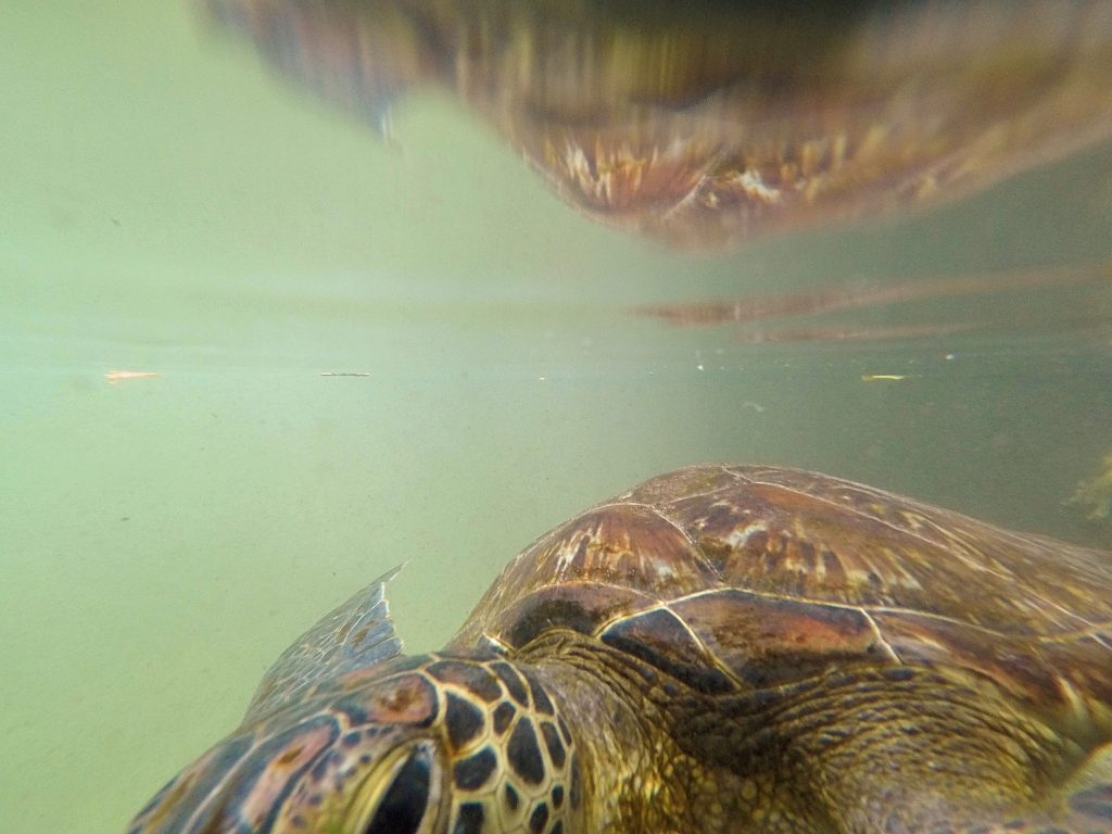 A picture of tortoises under water with my go pro