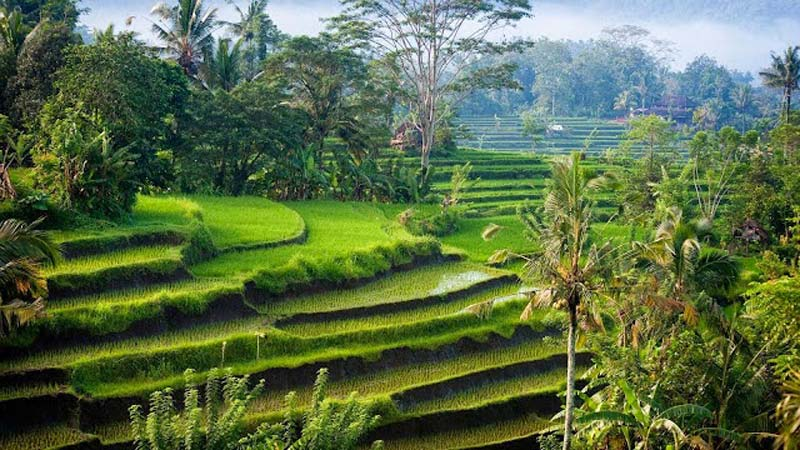 Ubud Rice Field Bali