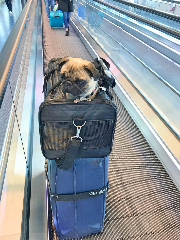 Flyga med hund